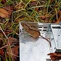 Apodemus agrarius mysz polna.jpg