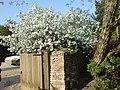 Apple blossom, Ampney Crucis - geograph.org.uk - 422011.jpg