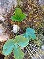 Aquilegia, Ranunculaceae 02.jpg