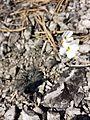 Arabidopsis petraea sl7.jpg