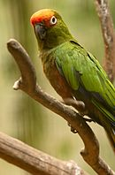 A green parrot with a yellow forehead and white eye-spots