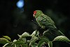 Aratinga erythrogenys - feral bird on branch.jpg