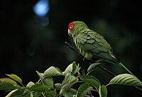 Aratinga erythrogenys - feral bird on branch