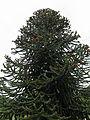 Araucaria araucana-IMG 5985.jpg