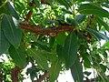 Arbutus marina 1.jpg