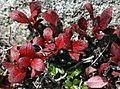 Arctous alpina var. japonica in Mount Kisokoma 2010-09-26.JPG