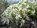 Arenaria hookeri (23731894995).jpg