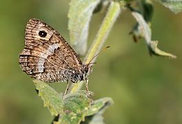 Arethusana arethusa - Seyit - False Grayling.JPG