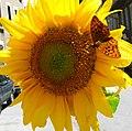 Argynnis adippe-sunflower.jpg