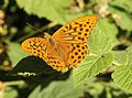Argynnis paphia, Silver-washed Fritillary, Breiddan Hill, North Wales, Aug 2010 - Flickr - janetgraham84.jpg