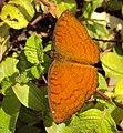 Ariadne ariadne - Angled Castor butterfly 02.JPG