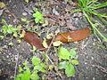 Arion lusitanicus Spanish slug-2.jpg
