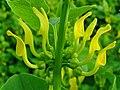 Aristolochia clematitis 002.JPG
