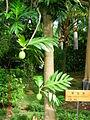 Artocarpus altilis 自制.jpg