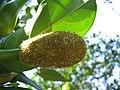 Artocarpus heterophyllus 16.jpg