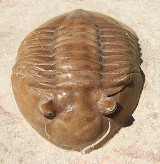 <i>Asaphus</i> genus of trilobites