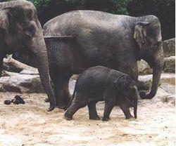 Asian elephant.jpg