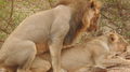 Asiatic Lion Mating 002.png