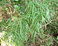 Asparagus angusticladus, Phalandingwe.jpg