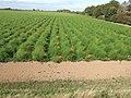 Asparagus beds near Tydd Gote - geograph.org.uk - 1513608.jpg