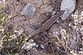 Aspidoscelis exsanguis - Flickr - aspidoscelis (4).jpg