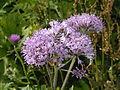 Asteraceae - Adenostyles alliariae. . .jpg