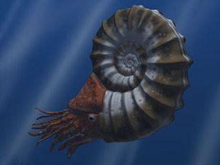 Ammonoidea subclass of molluscs (fossil)