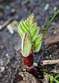 Astragalus cicer kz06.jpg