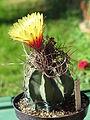 Astrophytum senile 12.JPG