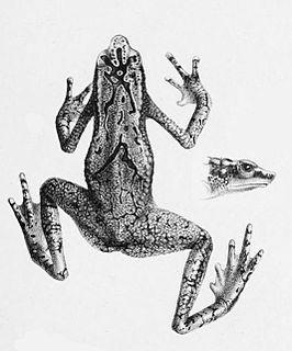 <i>Atelopus cruciger</i> species of amphibian