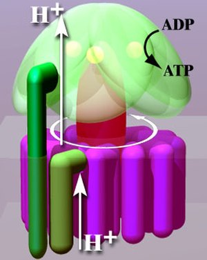 ATP synthase - Rotation engine of ATP synthase.