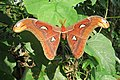 Attacus atlas - Atlas moth - at Peravoor (16).jpg