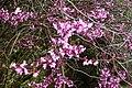 Auburn, CA, Cercis occidentalis - Western Redbud, 2012 - panoramio.jpg
