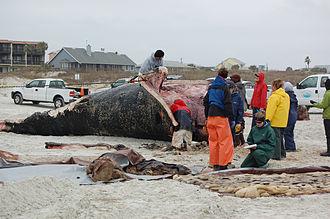 Drift whale - Eubalaena glacialis necroscopy, performed on the beach