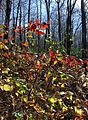 Autumnal blackberry patch (5138289682).jpg