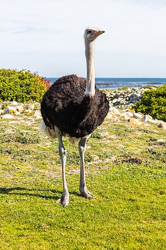 Cape of Good Hope - Male ostrich at the Cape of Good Hope