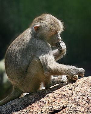 English: Description: A Baboon (Papio) Baby hi...