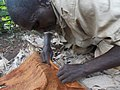 Back cloth preparation from a fig tree in Uganda 06.jpg