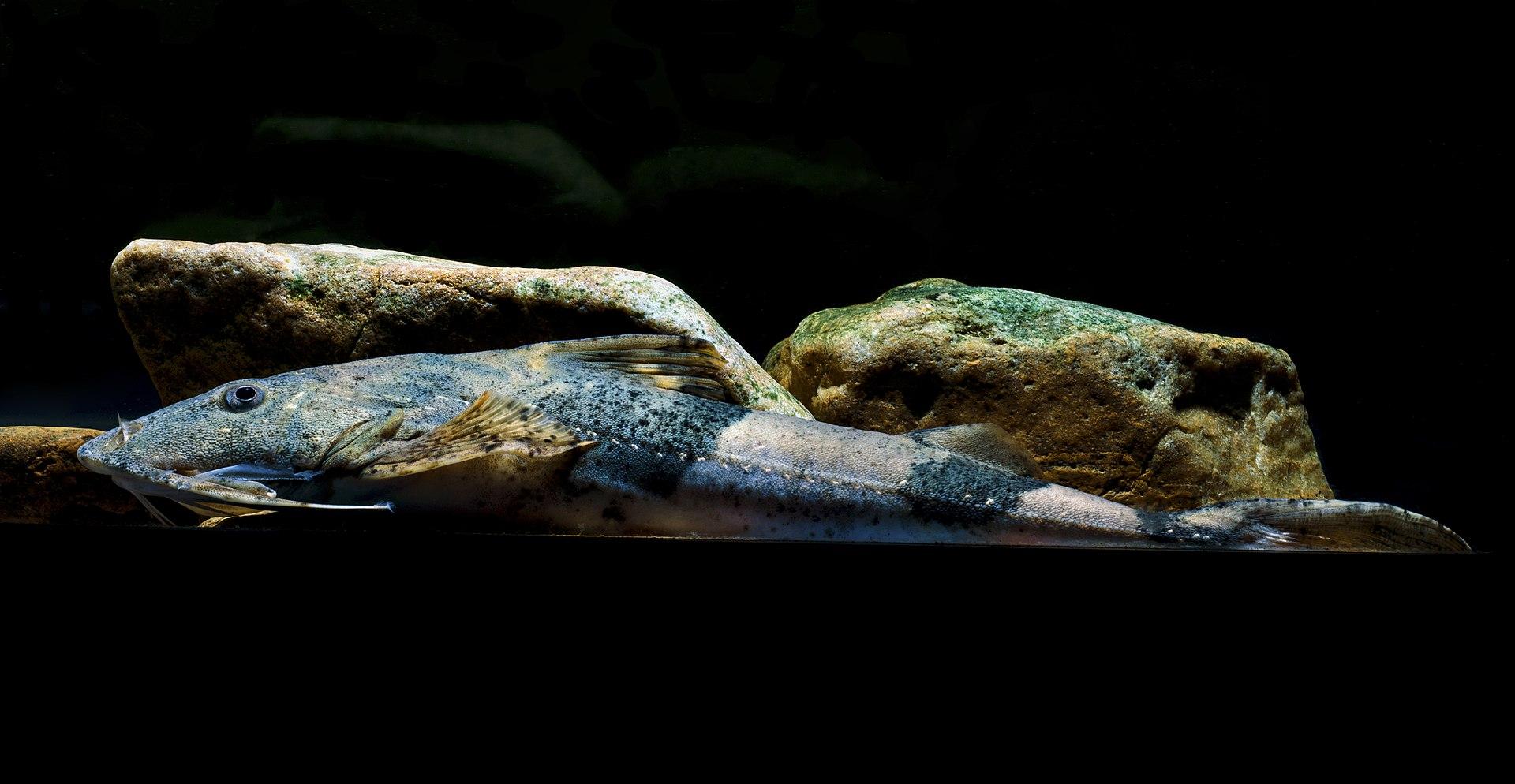 Mekong Giant Catfish Record