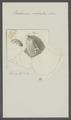 Balanus sulcatus - - Print - Iconographia Zoologica - Special Collections University of Amsterdam - UBAINV0274 101 02 0024.tif
