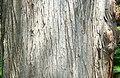 Bald Cypress (Taxodium distichum) bark detail.jpg
