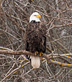 Bald Eagle (8438466463).jpg