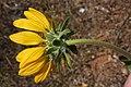 Balsamorhiza deltoidea 4508.JPG