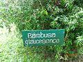 Bambusa glaucesence board.JPG
