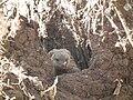 Banded Mangoose Mungos mungo in Tanzania 3452 Nevit.jpg