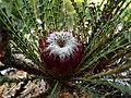 Banksia dallanneyi 1.jpg