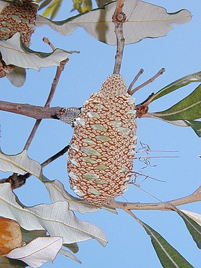 Description de l'image Banksia dentata follicle.jpg.