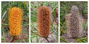 Banksia spinulosa - flowers, Christchurch Botanic Gardens, Canterbury, New Zealand.jpg