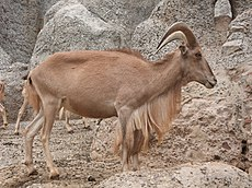 Barcelona-Zoo-Arrui o carnero del Atlas (Ammotragus lervia) (III).jpg