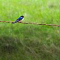 Barn Swallow-philwjan.jpg